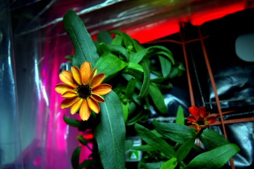 Space-Grown Zinnia Flowers in Veggie Facility - Photo: NASA